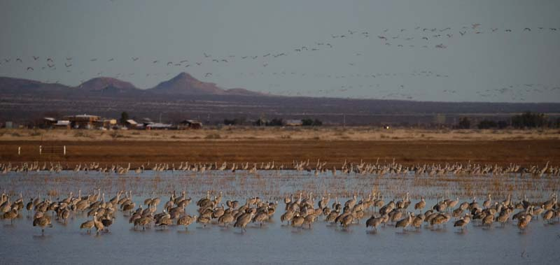 Sandhill cranes roosing and flying in the morning in Arizona