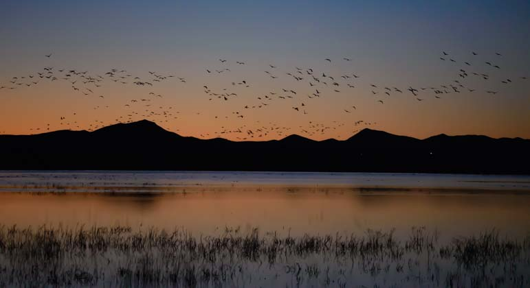 A flock of sandhill cranes arrives at sunset in southern Arizona