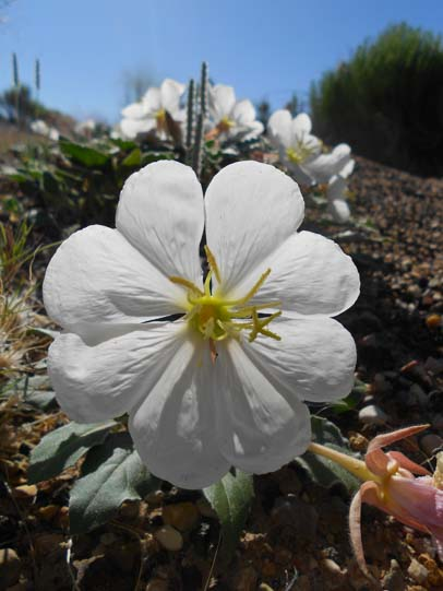 Evening primrose heart shaped petals