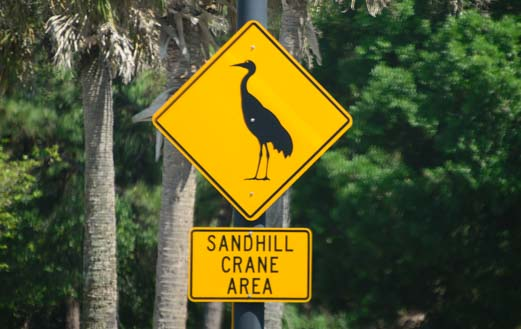 Sandhill cranes hatching area in Sarasota Florida