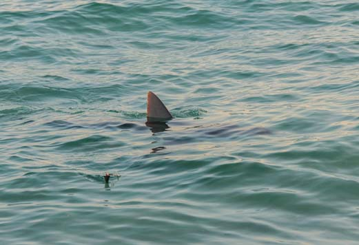 Shark fin in the water in northern Florida