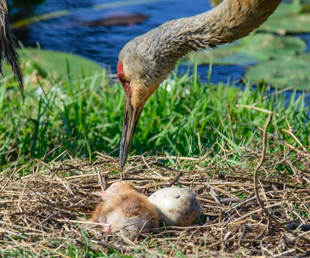 Sandhill crane checks on sleeping check Sarasota Florida