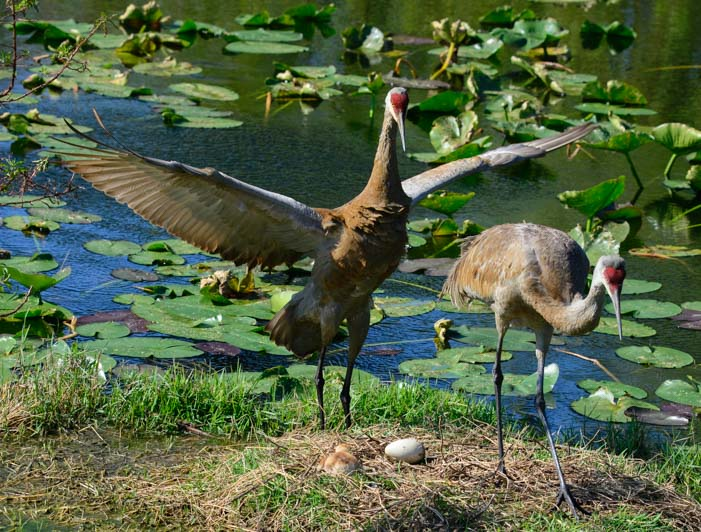 Pair of sandhill cranes in Sarasota Florida with chick in nest