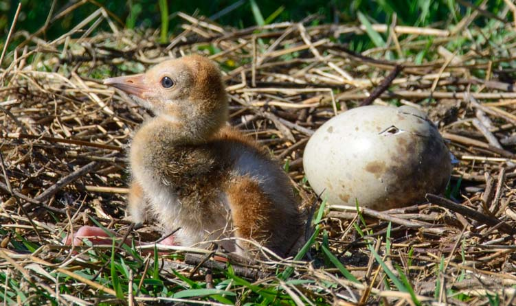 Florida Sandhill crane chick sits up in nest_