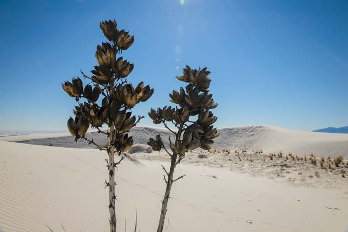 Desert plants in the white sands of New Mexico