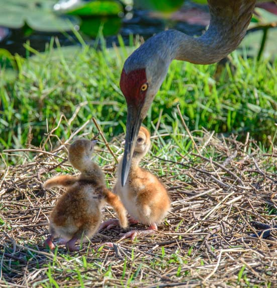 Female sandhill crane with two hatched chicks