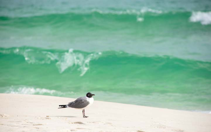 Seagull Gulf Islands National Seashore Florida