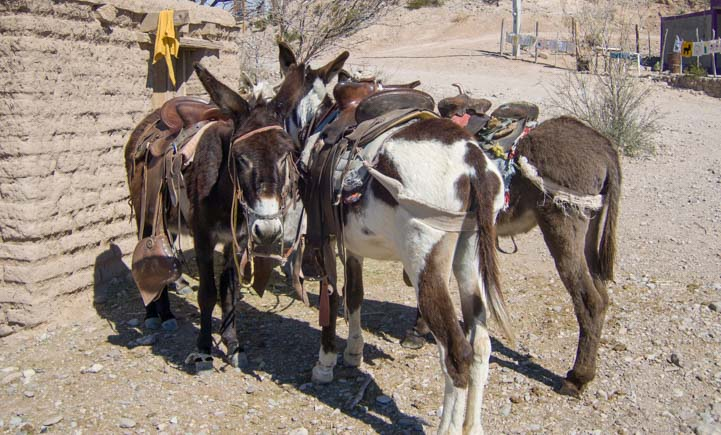 Burros waiting in Boquillas del Carmen Mexico