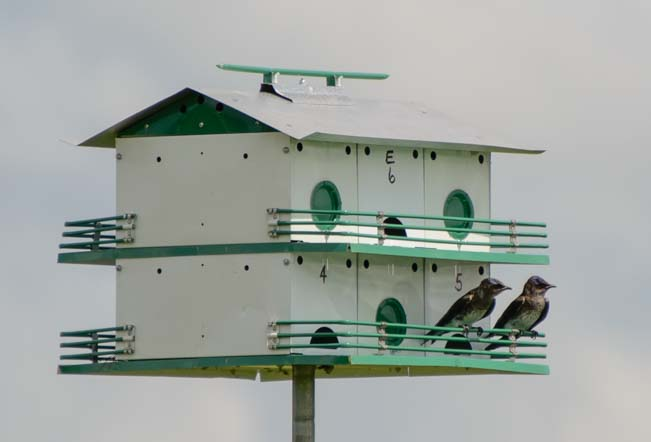 Pair of birds on Purple Martin box_
