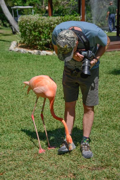 Curious flamingo inspects shoes
