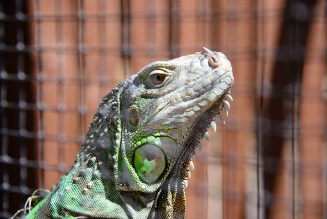 Iguana face up close at Jungle Gardens in Sarasota Florida