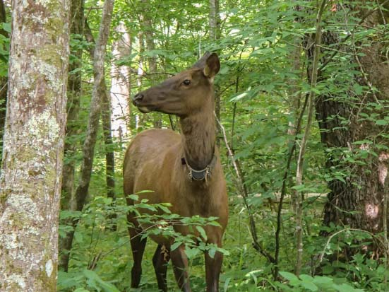 Elk on Oconaluftee River hiking trail Smoky Mountains