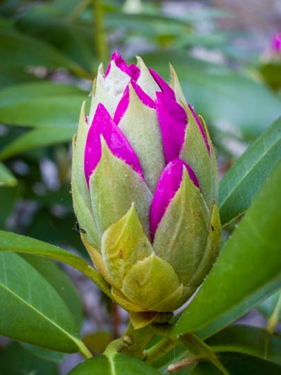 04 406 Rhododendron blooming 1