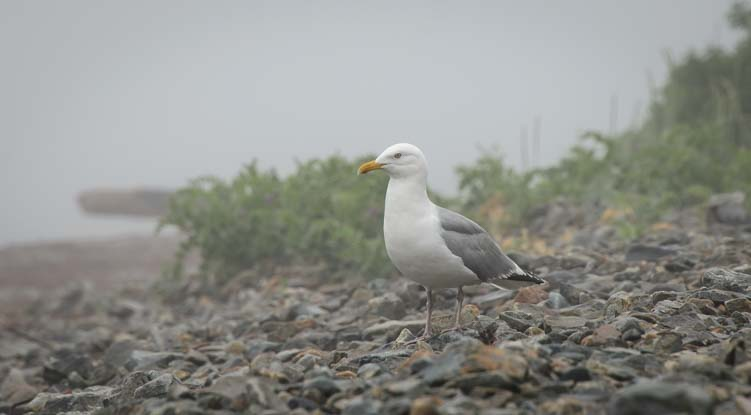 Seagull in the mist and fog in Maine
