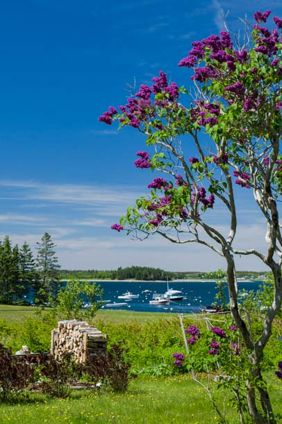 Lilacs arching over Maine harbor