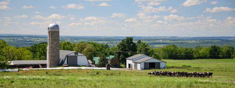 Cows and Amish farm Finger Lakes New York