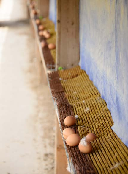 Egg collection Amish farm Finger Lakes New York
