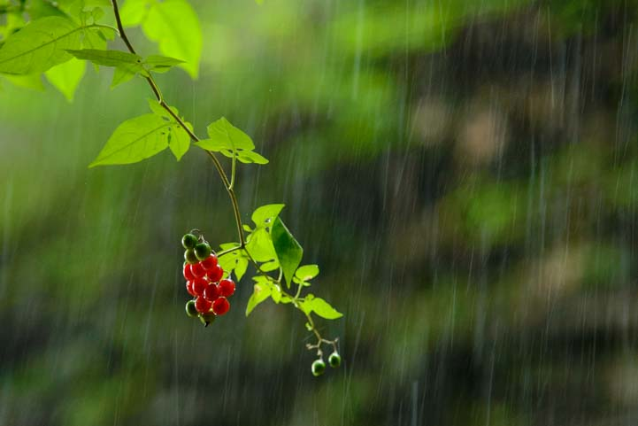 Rain on berries Watkins Glen State Park New York