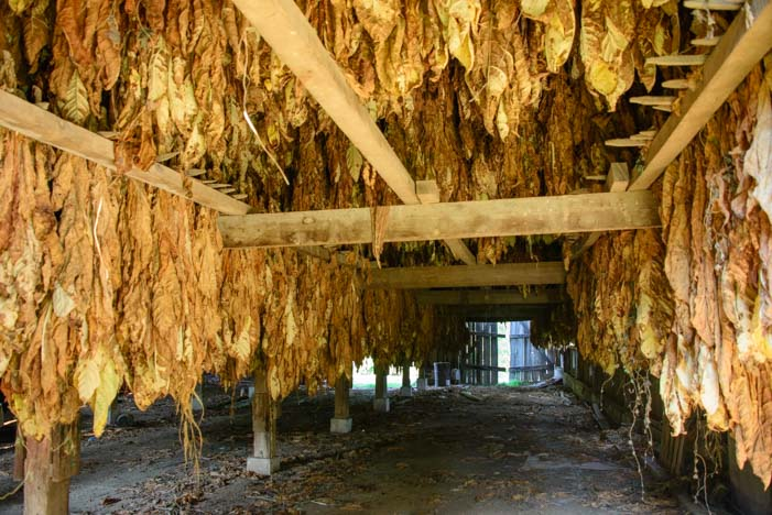 Tobacco leaves hanging in a barn Maysville Kentucky