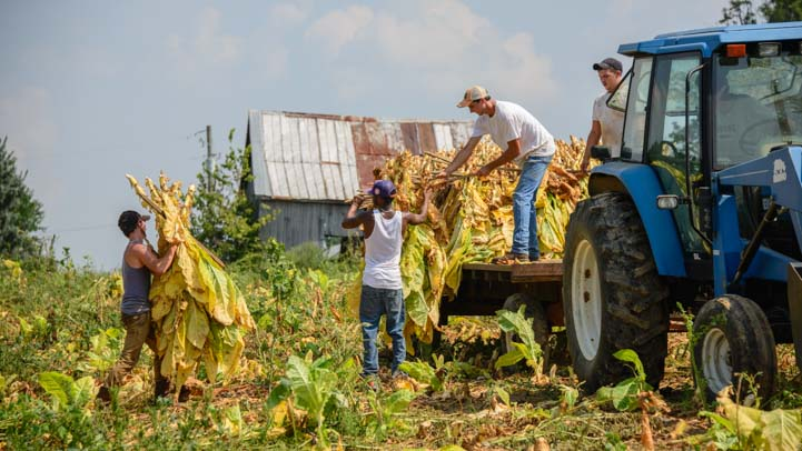 Cutting tobacco leaves Maysville Kentucky