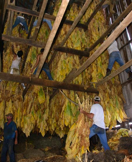 Burley tobacco leaves drying in a barn Mason County Kentucky