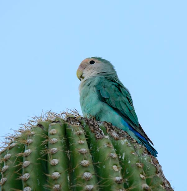 Peach faced lovebird parrot blue mutation saguaro cactus Scottsdale Arizona