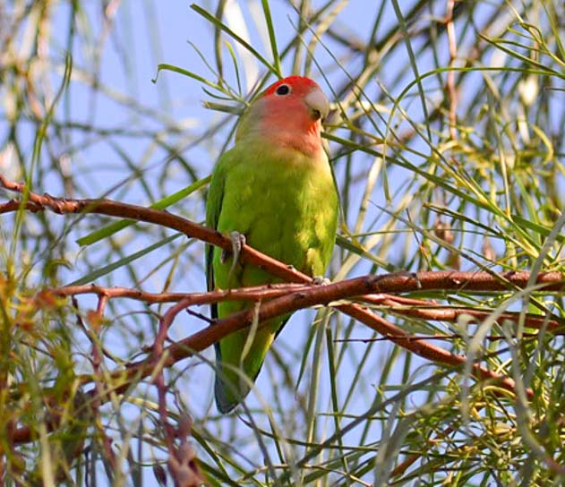 Peach faced lovebird parrot in Mesa Arizona