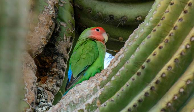 Peach faced lovebird parrot saguaro cactus Phoenix Arizona