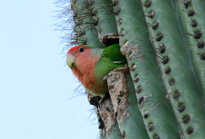 Peach faced lovebird in saguaro cactus nest in Scottsdale Arizona