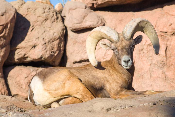 Big horn sheep Arizona Sonoran Desert Museum