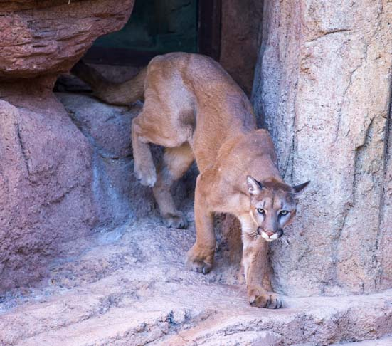 Mountain Lion Arizona Sonoran Desert Museum