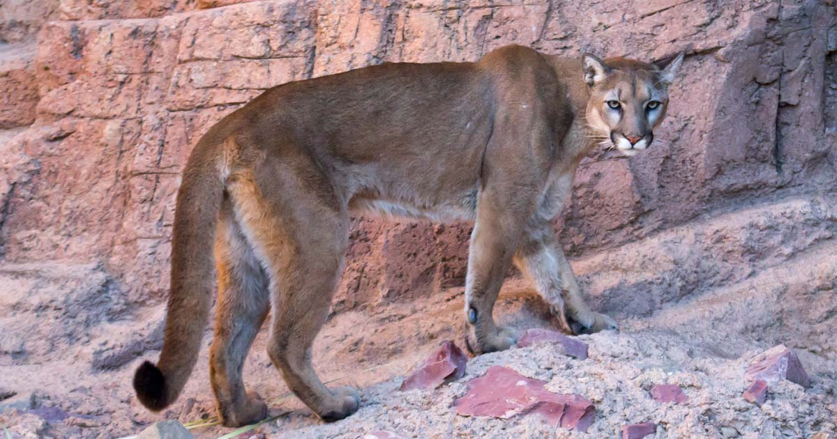 Mountain lion Arizona Sonoran Desert Museum Saguaro National Park Tucson