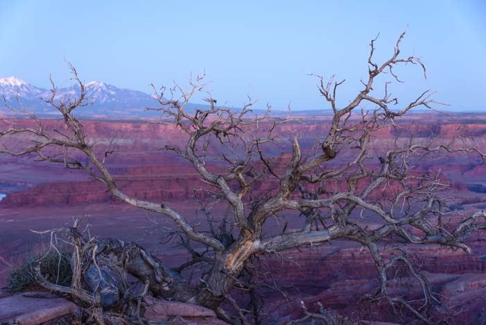 Tree at Dead Horse Point State Park overlook Utah