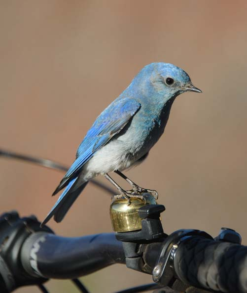 Mountain Bluebird on bicycle bell Moab Utah