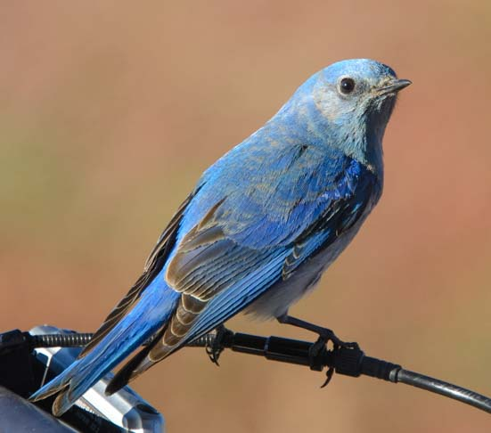 Mountain Bluebird Moab Utah