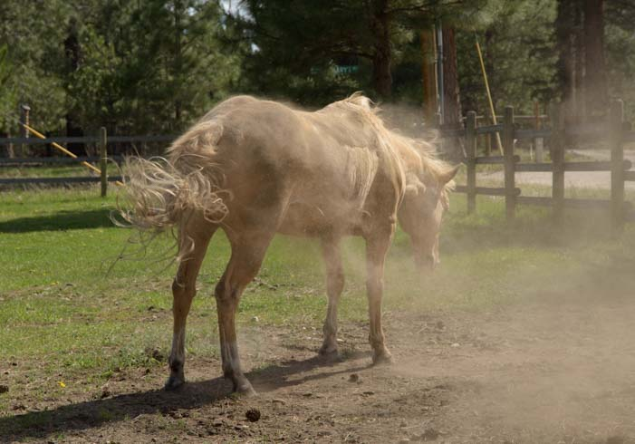 Horse shaking dust off his body