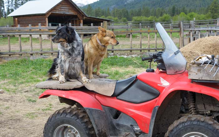 Ranch dogs in Montana