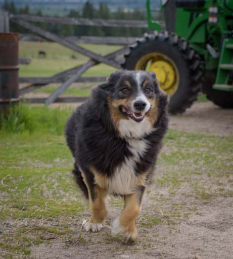 Cattle dog on Montana Ranch_