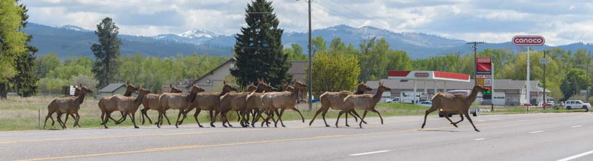 Elk on road Bitterroot Valley Montana