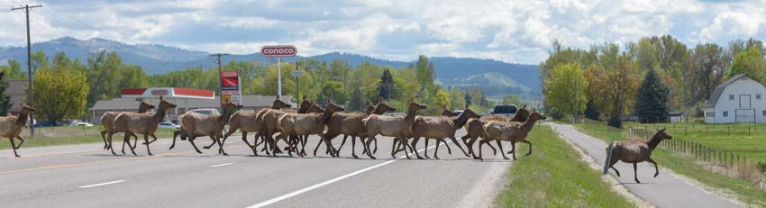 Elk crossing road Bitterroot Valley Montana