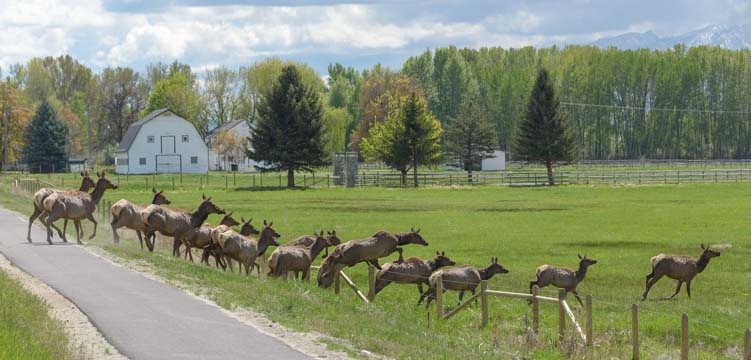 Elk herd jumps fence in Bitterroot Valley