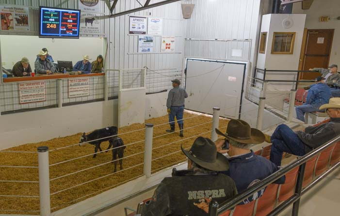 Calves at a livestock auction in Missoula Montana