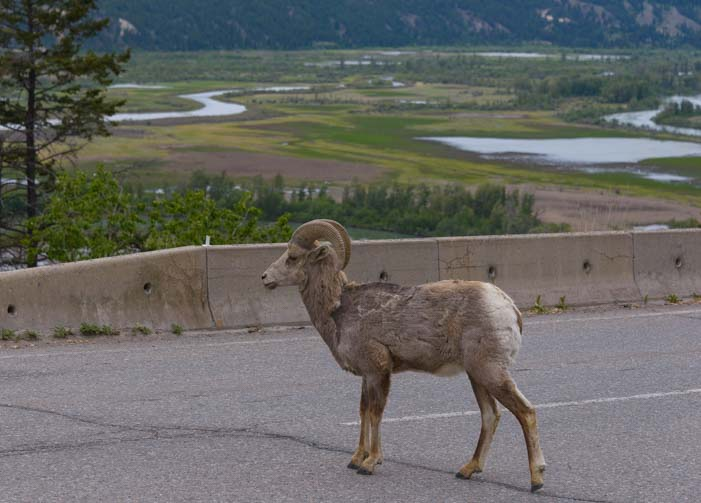 Rocky Mountain Big Horn Sheep in the road Invermere British Columbia Canada