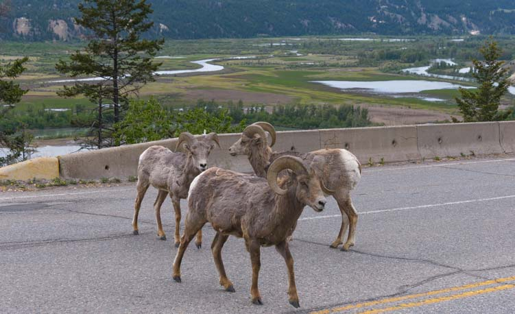 Big horn sheep crossing a road in British Columbia