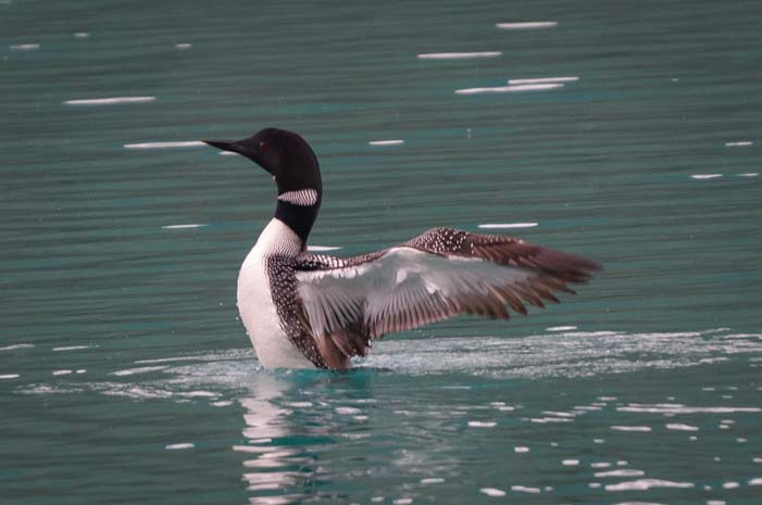 Loon in Emerald Lake Yoho National Park BC Canadian Rockies