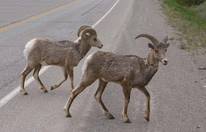 Big horn sheep cross the road Invermere British Columbia Canada