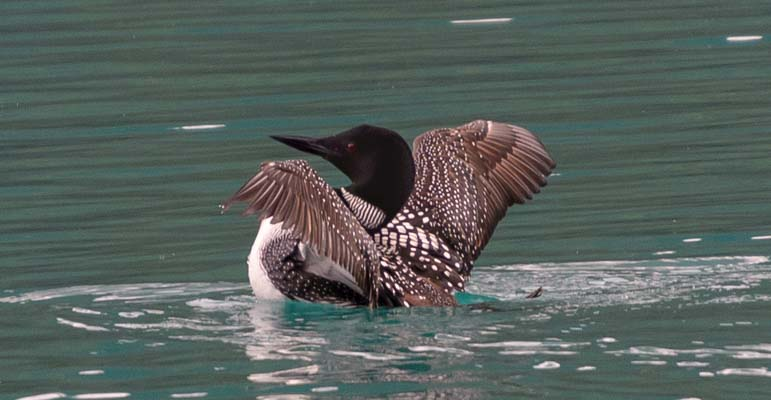 Loon Emerald Lake Yoho National Park BC Canada Rocky Mountains
