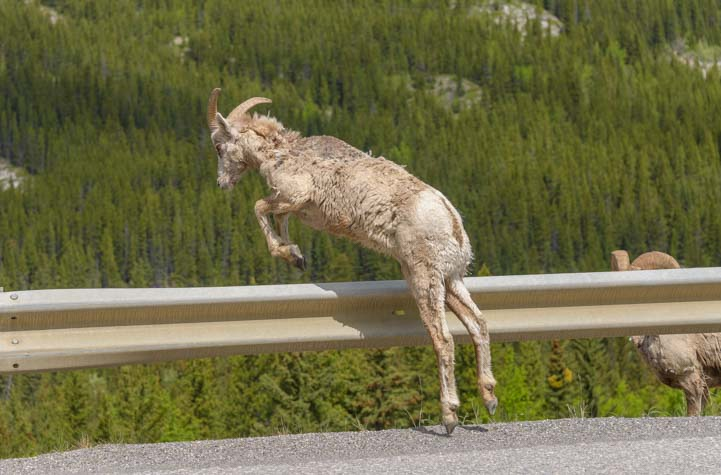 Jumping Bighorn Sheep Kananaskis Country Canadian Rockies