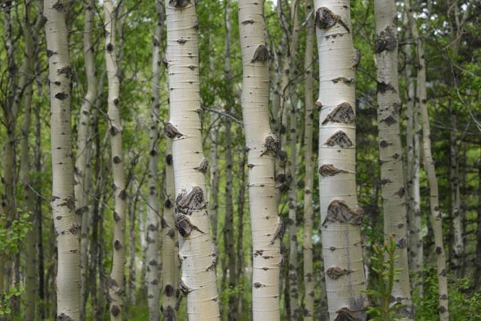 Aspen grove Kananaskis Country Canadian Rockies