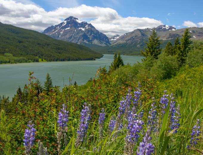 Wildflowers Saint Mary Lake Glacier National Park Montana